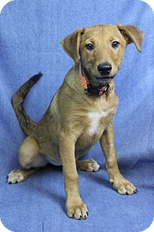 Retriever (Unknown Type)/Pointer Mix Dog for adoption in Westminster, Colorado - Natasha