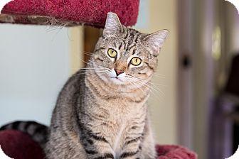 Domestic Shorthair Cat for adoption in Idyllwild, California - Bobbie