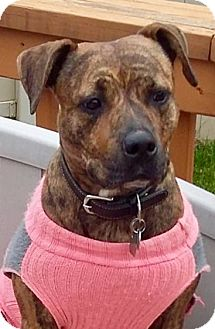 American Staffordshire Terrier Mix Dog for adoption in Grand Rapids, Michigan - Karmel