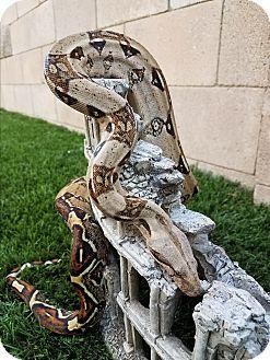 Snake for adoption in Saugus, California - Kaa