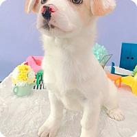 Adopt A Pet :: BLING - La Mirada, CA