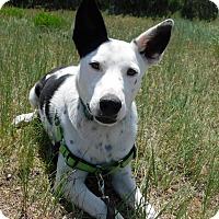 Adopt A Pet :: Echo - Ridgway, CO