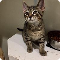 Adopt A Pet :: Han - Ashland, OH