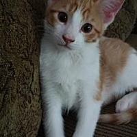 Adopt A Pet :: Felix 2 - Bulverde, TX