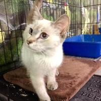 Adopt A Pet :: Chai (Mom 032717 Kit  4) - McDonough, GA