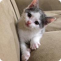 Adopt A Pet :: Ares - St. Louis, MO