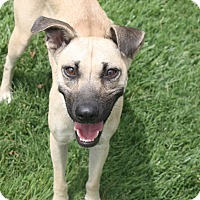 Adopt A Pet :: Devo - Henderson, NV