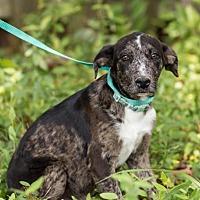 Adopt A Pet :: Dusk - Brownsboro, AL