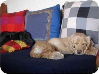 Cocker Spaniel Dog for adoption in Albuquerque, New Mexico - Carinosa