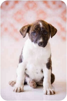Boxer/Pit Bull Terrier Mix Puppy for adoption in Portland, Oregon - Pax