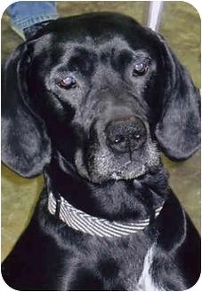 Labrador Retriever/Pointer Mix Dog for adoption in Owatonna, Minnesota - Sid