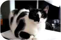 Domestic Shorthair Cat for adoption in Tampa, Florida - Maya