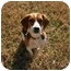 Photo 4 - Beagle Dog for adoption in White Plains, New York - Bogie Beagle