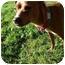 Photo 3 - Pug/Boxer Mix Dog for adoption in Castro Valley, California - Bruiser