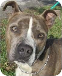 American Pit Bull Terrier Mix Dog for adoption in Kansas City, Missouri - Sheldon
