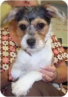 Terrier (Unknown Type, Small)/Wirehaired Fox Terrier Mix Puppy for adoption in Hagerstown, Maryland - Trixie