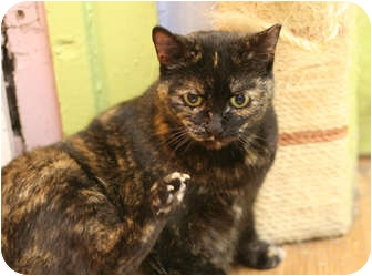 Domestic Shorthair Cat for adoption in Chicago, Illinois - Faith