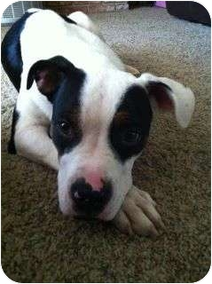 Pit Bull Terrier/Shepherd (Unknown Type) Mix Dog for adoption in Fresno, California - Annie