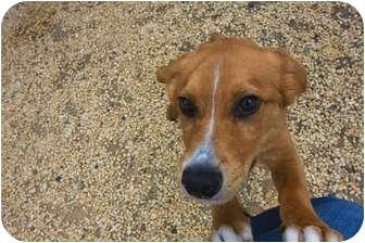 Shepherd (Unknown Type) Mix Puppy for adoption in Philadelphia, Pennsylvania - Shorty