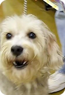 Schnauzer (Standard)/Poodle (Miniature) Mix Dog for adoption in Houston, Texas - Cassidy