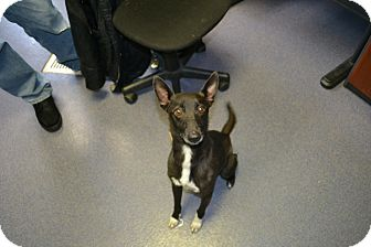 Whippet Mix Dog for adoption in Edwardsville, Illinois - Benjamin