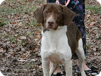 Brittany/Spaniel (Unknown Type) Mix Dog for adoption in Hamburg, Pennsylvania - Ginger