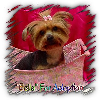 Yorkie, Yorkshire Terrier Dog for adoption in Winchester, Kentucky - Bella