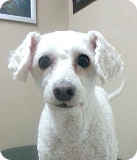 Poodle (Miniature) Dog for adoption in Miami, Florida - Mia