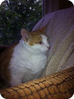 Domestic Shorthair Cat for adoption in Columbia, South Carolina - Kieren