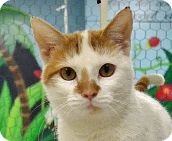 Domestic Shorthair Cat for adoption in Searcy, Arkansas - Zuri