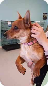 Chihuahua/Dachshund Mix Dog for adoption in Branson, Missouri - Misty