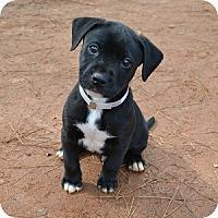 Adopt A Pet :: Cupid - Athens, GA