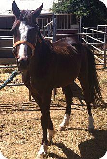 Quarterhorse Mix for adoption in Elverta, California - Rain