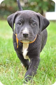 Labrador Retriever/Beagle Mix Puppy for adoption in Danbury, Connecticut - Jake