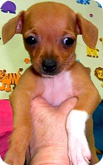 Chihuahua/Beagle Mix Puppy for adoption in Bartonsville, Pennsylvania - Willow