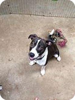 American Staffordshire Terrier Mix Puppy for adoption in Sacramento, California - Batman, all kisses pup