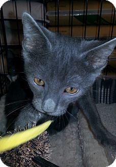 Domestic Shorthair Kitten for adoption in Gilbert, Arizona - Cory
