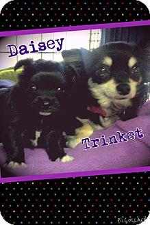 Papillon Mix Puppy for adoption in Apache Junction, Arizona - Trinket & Daisey