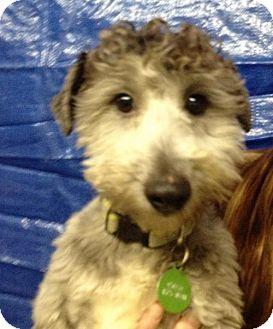 Poodle (Miniature)/Standard Schnauzer Mix Dog for adoption in Portland, Oregon - Reggie