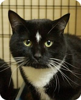 Domestic Shorthair Cat for adoption in Medford, Massachusetts - Meenie and Dasher