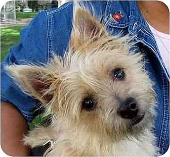Cairn Terrier/Yorkie, Yorkshire Terrier Mix Dog for adoption in Downey, California - Taffy
