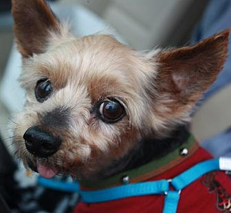 Yorkie, Yorkshire Terrier Dog for adoption in Statewide and National, Texas - Charlie