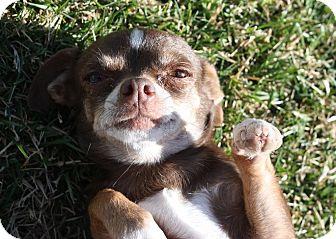 Chihuahua Mix Dog for adoption in Henderson, Nevada - Kara