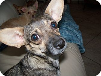 Dachshund/Chihuahua Mix Dog for adoption in Apache Junction, Arizona - Babs