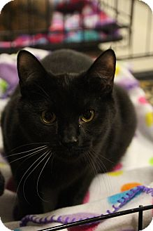Domestic Shorthair Cat for adoption in Columbus, Ohio - Frankie