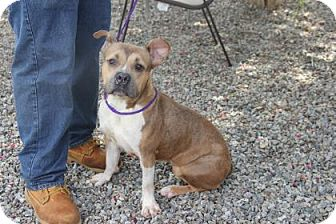 Pit Bull Terrier Mix Dog for adoption in Greensboro, North Carolina - Lana