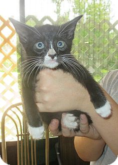 Domestic Shorthair Kitten for adoption in Mims, Florida - Merlin