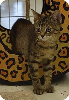 Domestic Shorthair Kitten for adoption in Hillside, Illinois - Lucy-10 WEEKS