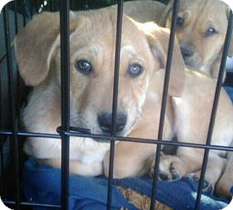 Bernese Mountain Dog/Shepherd (Unknown Type) Mix Puppy for adoption in Staunton, Virginia - Sissy and Bro