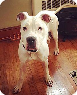 Boxer/American Bulldog Mix Dog for adoption in Chicago, Illinois - Coconut